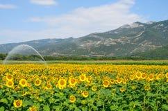 向日葵领域在希腊 免版税图库摄影