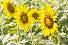 向日葵领域在开花的风景视图在锂的一个草甸 免版税库存图片