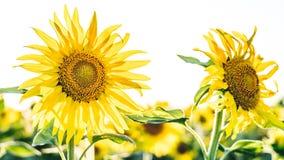 向日葵领域在摩尔多瓦 免版税库存照片