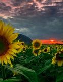 向日葵领域在日落期间的6月 免版税图库摄影