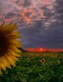 向日葵领域在日落期间的6月 免版税库存照片