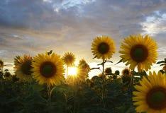 向日葵领域在日落的夏天 在向日葵上的美丽的云彩调遣在日落 美丽的向日葵照亮了b 免版税库存照片