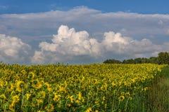 向日葵领域开花天空阴云密布 库存照片
