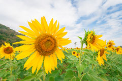 向日葵领域风景与多云蓝天和绿色山背景的 库存照片