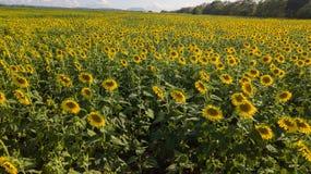 向日葵领域鸟瞰图,观看开花的向日葵 图库摄影