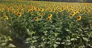向日葵领域鸟瞰图,观看开花的向日葵 影视素材