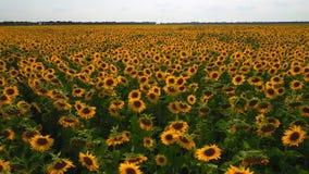 向日葵领域鸟瞰图  向日葵领域鸟瞰图,观看在天空背景飞行的开花的向日葵 股票录像