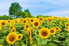 向日葵领域,夏天开花风景 免版税图库摄影