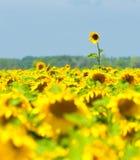 向日葵领域,普罗旺斯,法国,浅重点 免版税库存图片