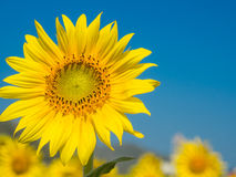向日葵领域晴天和明白蓝天 免版税图库摄影