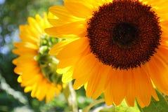 向日葵黄色 图库摄影