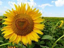 向日葵黄色 库存照片