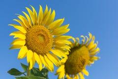 向日葵,开花反对明亮的天空的向日葵 免版税库存照片
