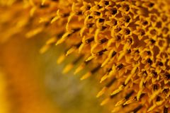 向日葵,特写镜头花  库存图片