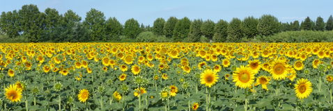 向日葵, zonnebloemen (向日葵) 免版税库存照片