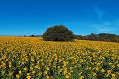 向日葵:鸟瞰图种植在巴西 美好的横向 库存图片