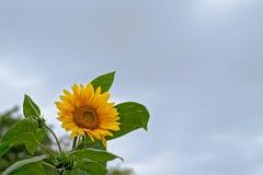 向日葵& x28; 向日葵& x29;多云天空 库存照片