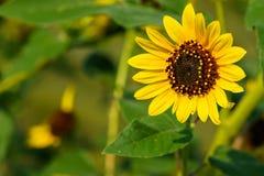 向日葵-向日葵petiolaris 免版税图库摄影