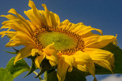 向日葵绽放在夏天 库存图片