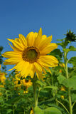 向日葵黄色蓝绿色 免版税库存照片