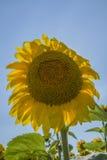 向日葵 黄色透明瓣是颤抖的在风下 库存照片