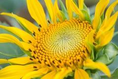 向日葵黄色绽放 库存照片