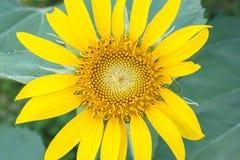 向日葵黄色绽放 库存图片
