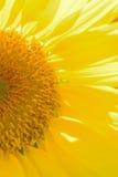 向日葵细节宏观纹理在阳光下 库存图片
