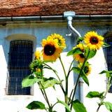 向日葵 被加强的中世纪撒克逊人的教会在村庄Cincu, Grossschenk,特兰西瓦尼亚,罗马尼亚 库存图片
