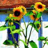 向日葵 被加强的中世纪撒克逊人的教会在村庄Cincu, Grossschenk,特兰西瓦尼亚,罗马尼亚 免版税库存照片