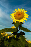 在向日葵的早晨阳光 库存照片 & 图像