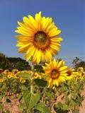 向日葵flora2 免版税图库摄影