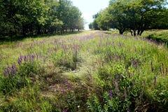 向距离的一条道路横跨一块沼地在开花的干草原草之间的森林里 库存照片