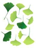 向量绿色银杏树叶子 库存图片