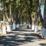 向Colimbia,罗得岛的欧卡利普图斯路 图库摄影