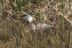 吞下一条大鱼的伟大蓝色的苍鹭的巢在中央佛罗里达 免版税库存照片
