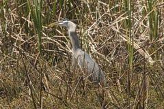 吞下一条大鱼的伟大蓝色的苍鹭的巢在中央佛罗里达 免版税图库摄影