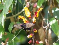 吞下基于一朵明亮地色的黄色和红色花的尾巴蝴蝶,有自然绿色叶子背景 库存照片