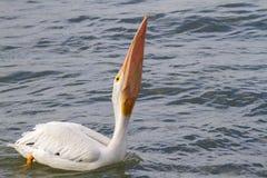 吞下大抓住的美国白色鹈鹕(Pelecanus erythrorhynchos) 免版税图库摄影