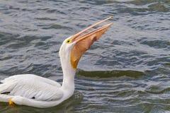 吞下大抓住的美国白色鹈鹕(Pelecanus erythrorhynchos) 免版税库存照片