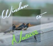 吞下小鸡坐注册框架,一个窗口到自然里 免版税库存图片