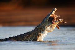 吞下飞羚的尼罗鳄鱼 图库摄影