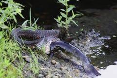 吞下鱼的北水蛇 库存图片