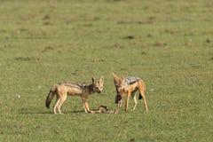 吞食他们的杀害的两头狐狼 免版税库存图片