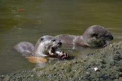 吞食他们的牺牲者的两只水獭 免版税库存图片