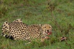 吞食它的杀害的猎豹 库存图片