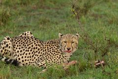 吞食它的杀害的猎豹 免版税库存照片