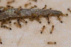 吞食Boettger ` s墙壁壁虎的尾巴的蚂蚁 库存图片