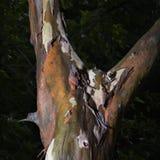 吠声削皮结构树 免版税图库摄影