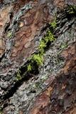 吠声接近的宏观杉木subar  免版税库存照片